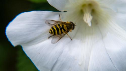 Bindweed flower, common flower fly