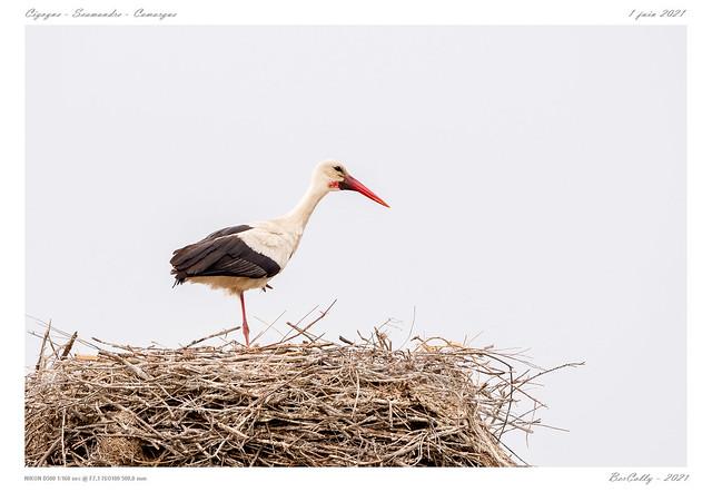 La cigogne | White stork