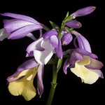 Calanthe conspicua Lindl., Fol. Orchid. 6: 4 (1855)