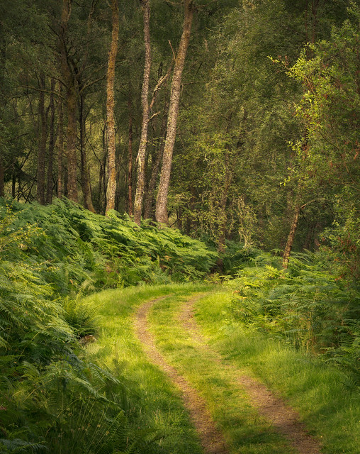 three trees | Little Druim Wood | The Trossachs | Stirlingshire