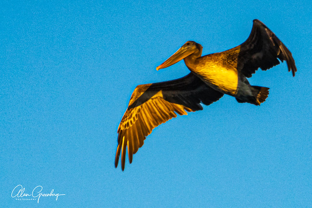 Pelican in the sunset
