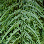 Woodwardia radicans – mature frond detail