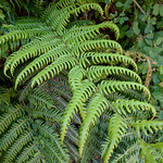 Woodwardia radicans – young frond