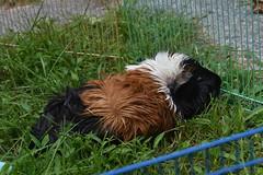 Wet Guinea pig drying