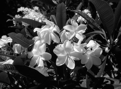 L.A. County Arboretum - Plumeria (60)