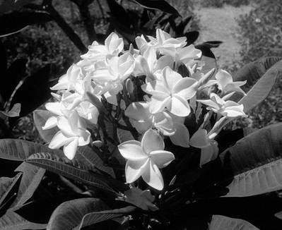 L.A. County Arboretum - Plumeria (56)