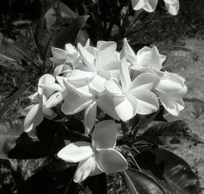 L.A. County Arboretum - Plumeria (54)