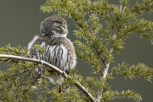 Fuzzy Little Owl