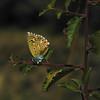 Nabokov's Blue Butterfly II