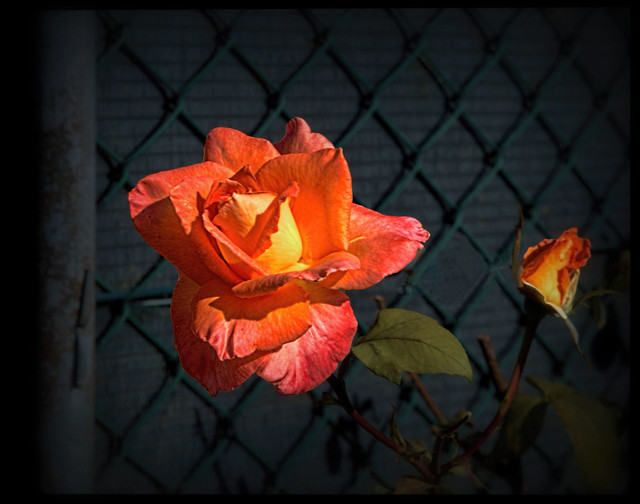 Flowers - a rose