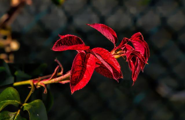 Flowers - red leaves