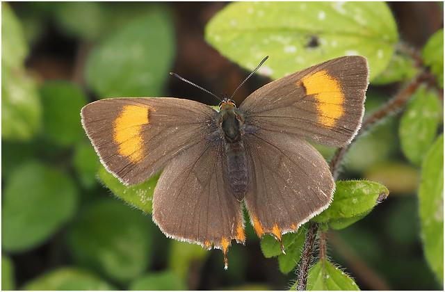 Brown Hairstreak (Thecla betulae) female