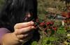 Blackberry-Picking
