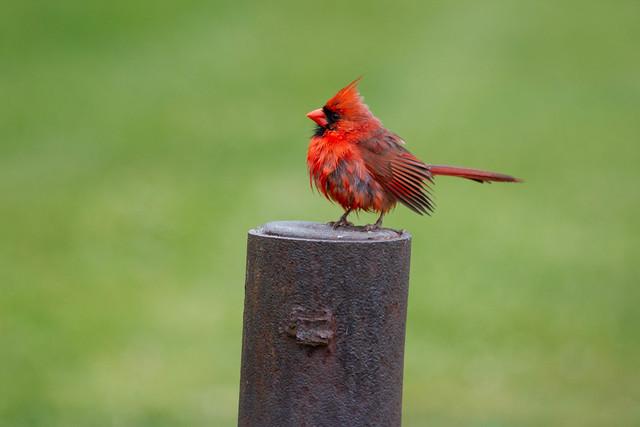 Cardinal - Michigan, USA, 2021