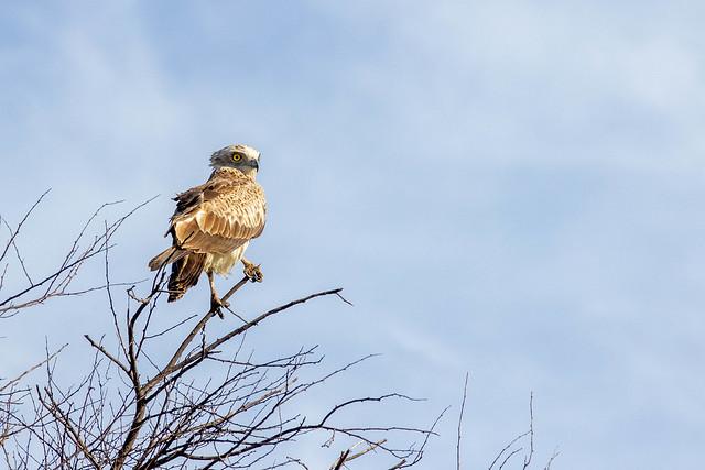 Short Toed Snake Eagle - Grasslands near Pune, India, 2021