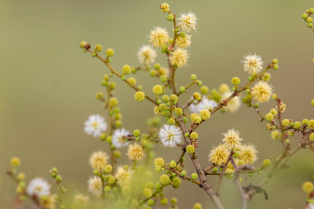 Flowers - Grasslands near Pune, India, 2021