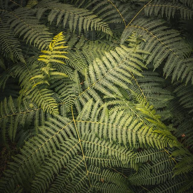 summer ferns | Little Druim Wood | The Trossachs | Stirlingshire