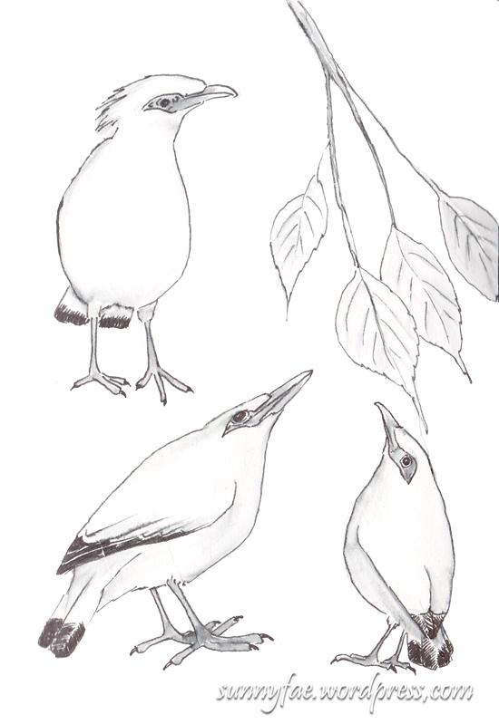 ink sketches ofbali a myna birds