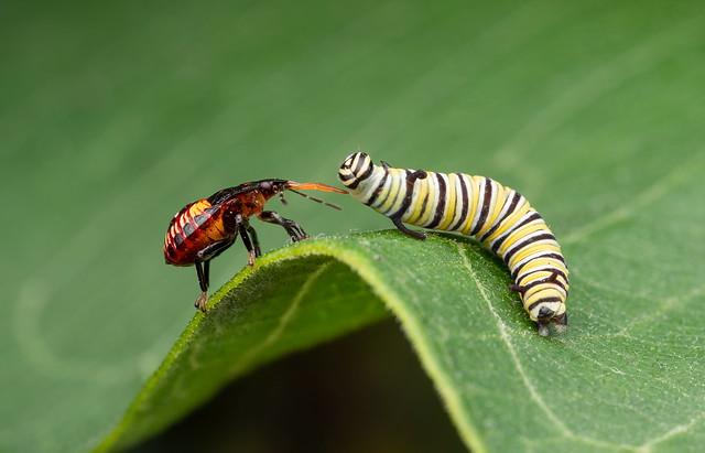 Predatory shield bug nymph with Monarch caterpillar prey.
