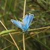 Nabokov's Blue Butterfly I
