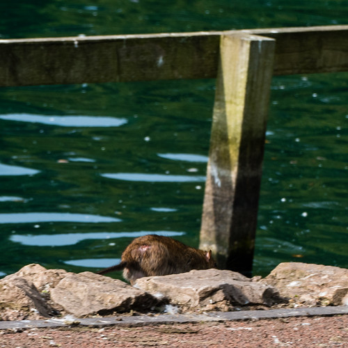 Thirsty rat, West Park