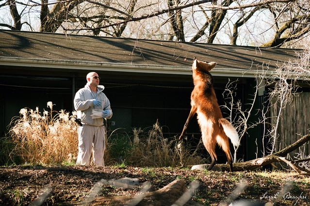Maned wolf training.