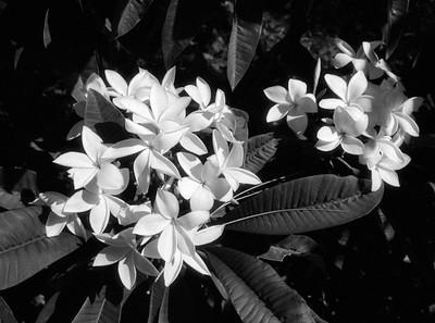 L.A. County Arboretum - Plumeria (58)