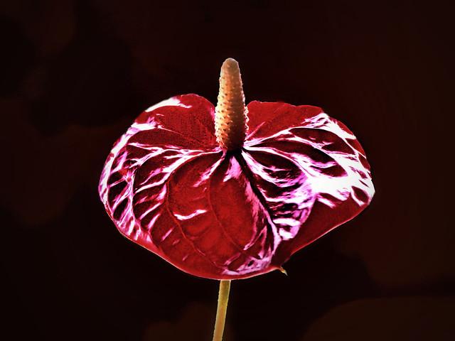 Flowers - Anthurium