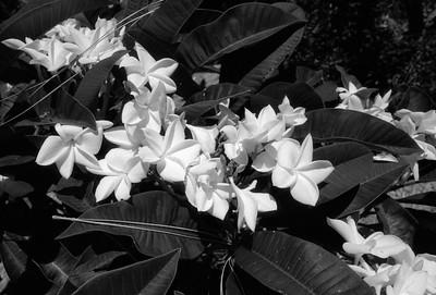 L.A. County Arboretum - Plumeria (59)