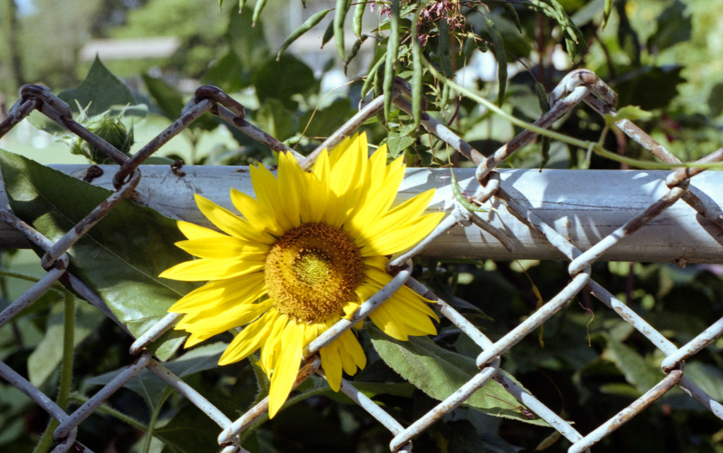 Sunflower Stuck in the Fence