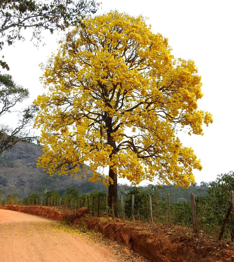 Ipê Amarelo - Conceição das Pedras