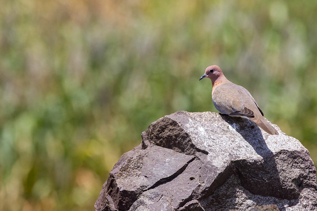 Laughing Dove - Grasslands near Pune, India, 2021