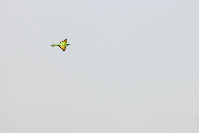 Bee Eater in flight - Farm land, near Solapur, India, 2021