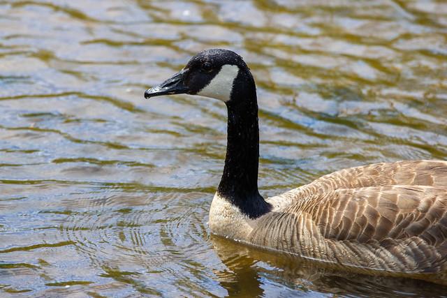 Canadian Goose - Michigan, USA, 2021