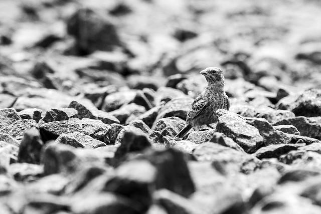 Ashy-crowned Sparrow Lark - Grasslands near Pune, India, 2021