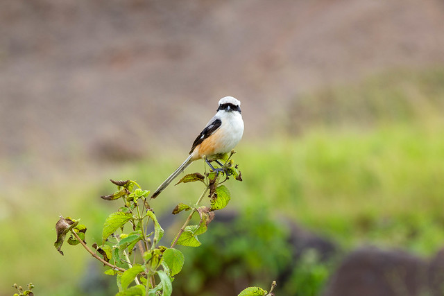 Bay-backed Shrike - Grasslands near Pune, India, 2021