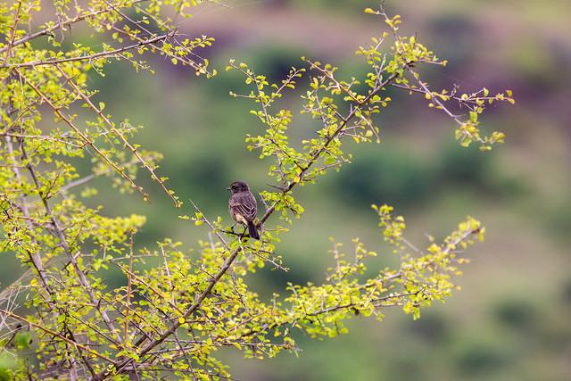 Pied Bushchat, female - Grasslands near Pune, India, 2021