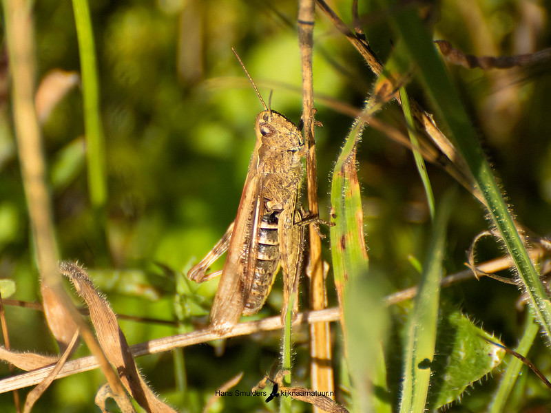 ratelaar (Glyptobothrus biguttulus)-820_6096