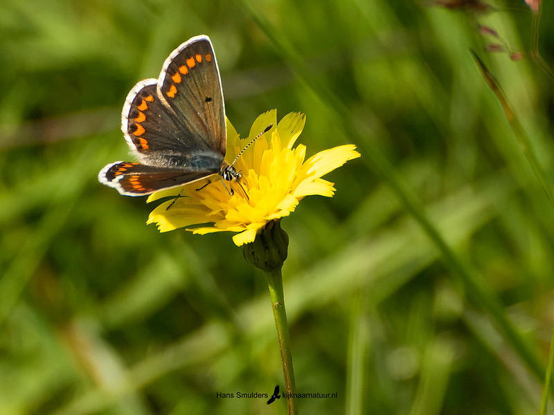 Bruin blauwtje (Aricia agestis)-820_6114