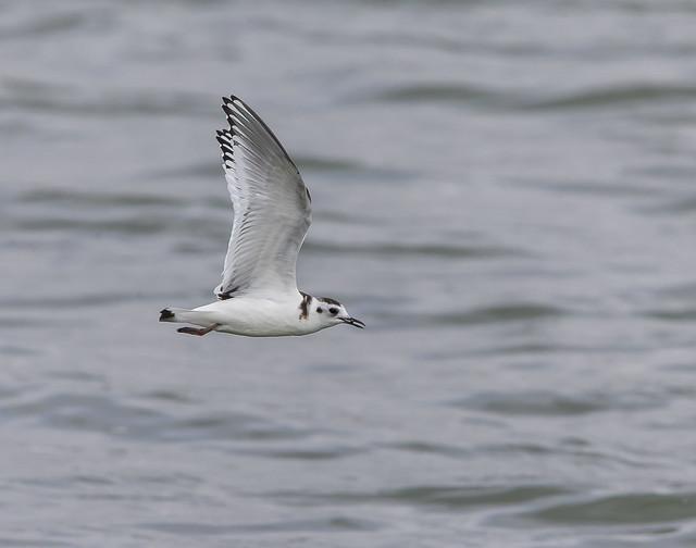 Little Gull  Hornsea Mere Yorkshire England September 2021