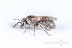 Lasioglossum (Chilalictus) sp.