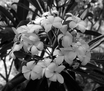 L.A. County Arboretum - Plumeria (55)