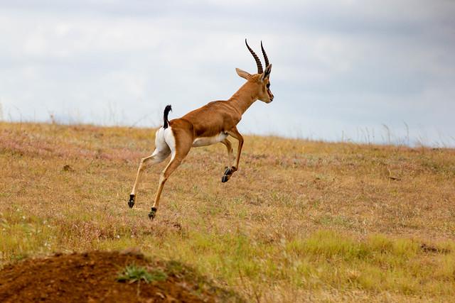 Chinkara - Indian Gazelle mid-jump - Grasslands near Pune, India, 2021