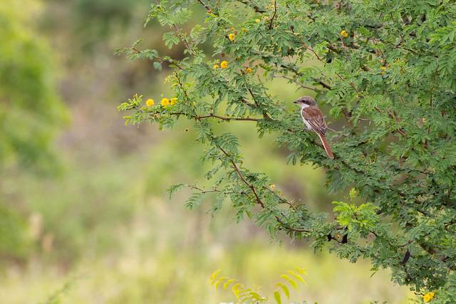 Brown Shrike - Grasslands near Pune, India, 2021