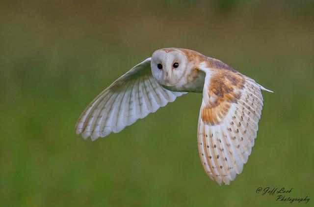 DSC7623  Barn Owl...