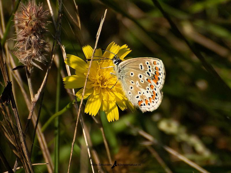 Bruin blauwtje (Aricia agestis)-820_6115