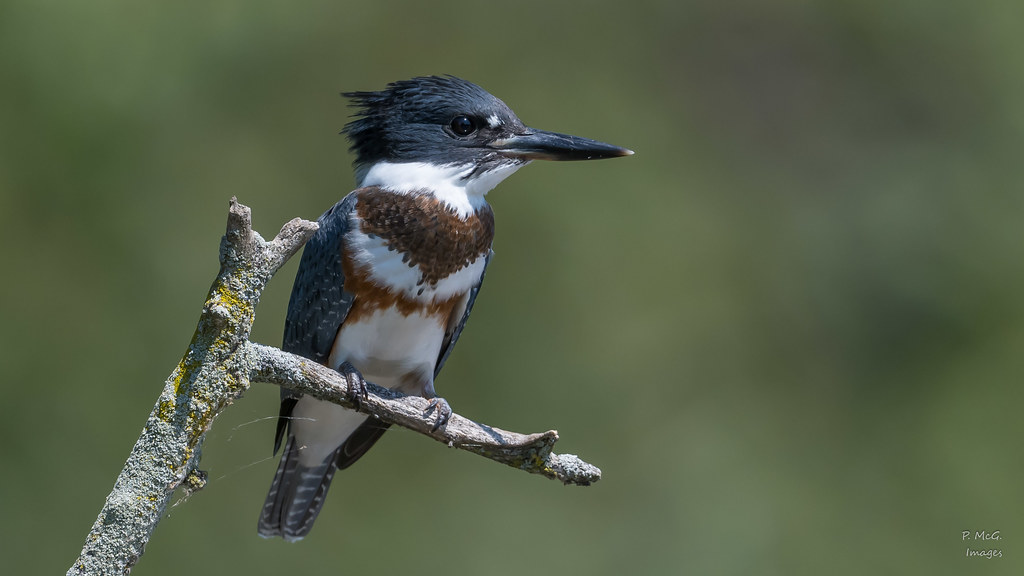 Belted Kingfisher  8143