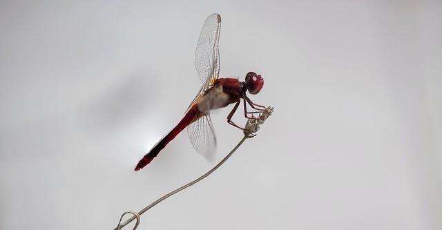 Libel - lula  dragonfly
