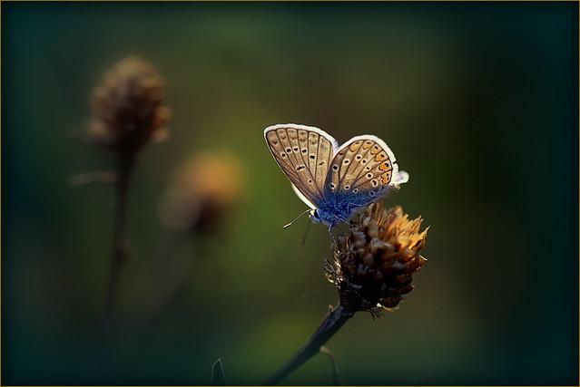 Bruin blauwtje