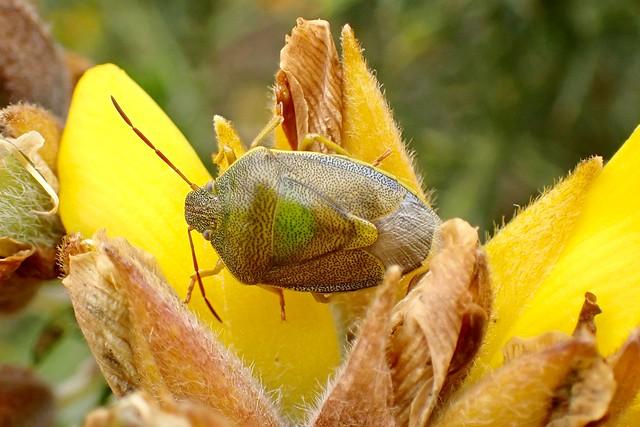 Piezodorus lituratus - Gorse Shieldbug